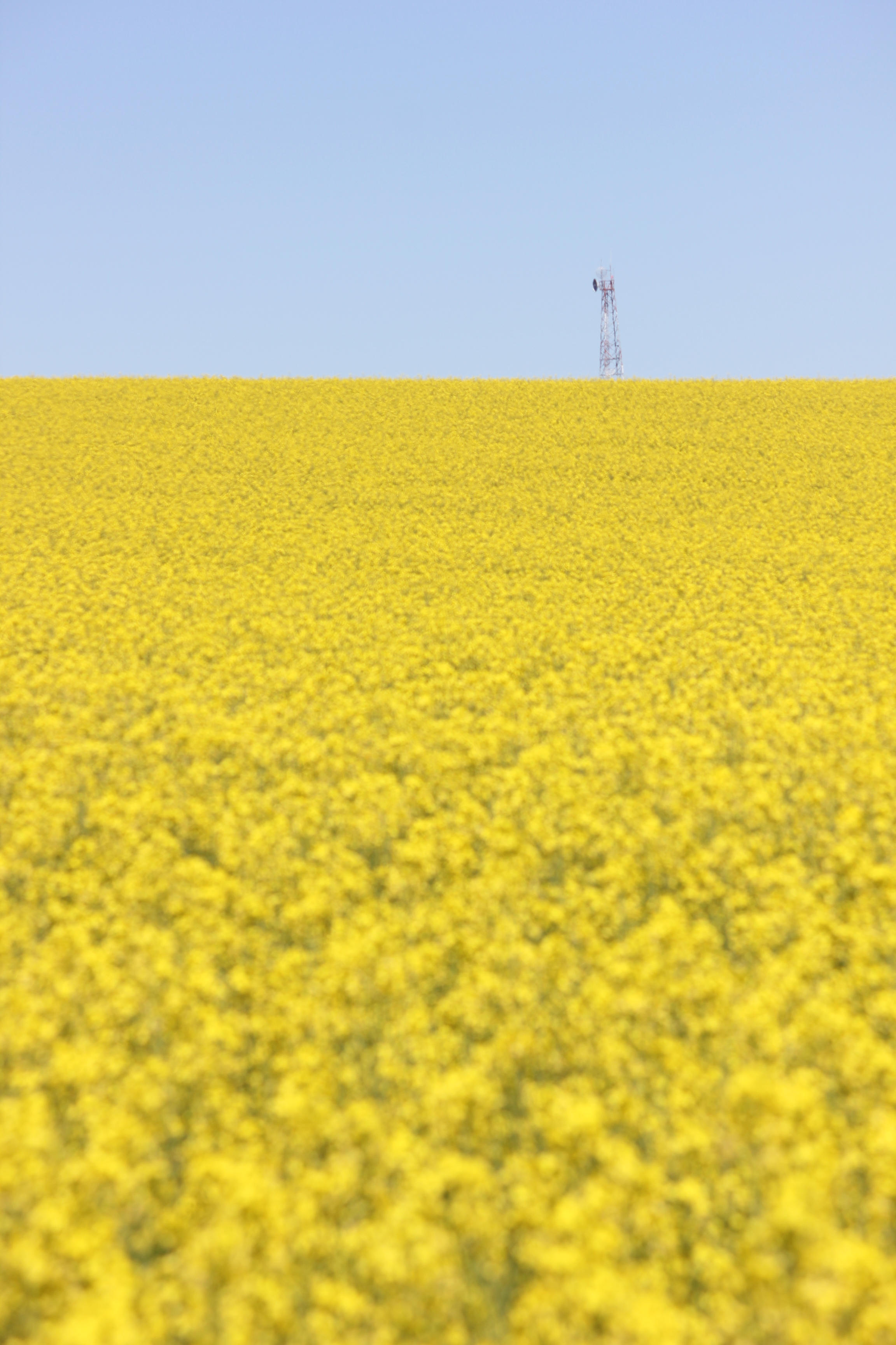 field of yellow flowers | bilbyandbear