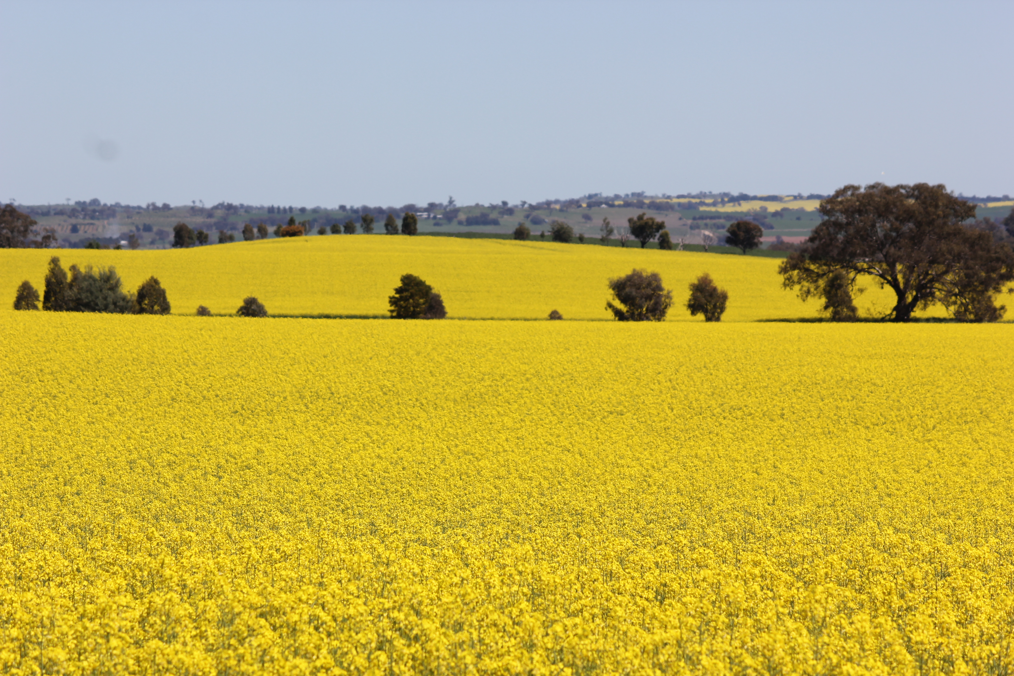 Field Of Yellow Flowers Bilbyandbear